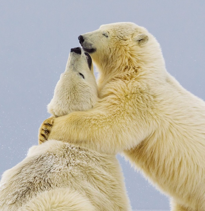 """The polar bears share a hug *full story: http://www.rexfeatures.com/nanolink/enmp* This polar bear cub smiles with pleasure as he gives his sister a tender hug. The intimate family moment was captured in temperatures 20 degrees celsius blow freezing by British photographer Oliver Smart. The 34-year-old was sat on a speed boat as he caught the pair on camera embracing following a play fight. Oliver said: """"This pair were hilarious because they were squabbling constantly like siblings do and it was very funny. """"There was no malice, young polar bears just constantly like to wrestle and play in the snow. """"I thought the smile on the bear as they embraced was appropriate for such a tender moment""""."""