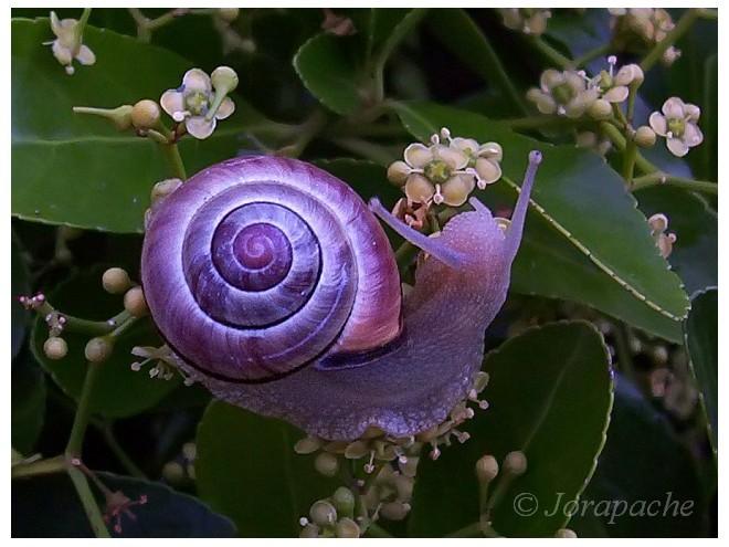 фиолетовая улитка
