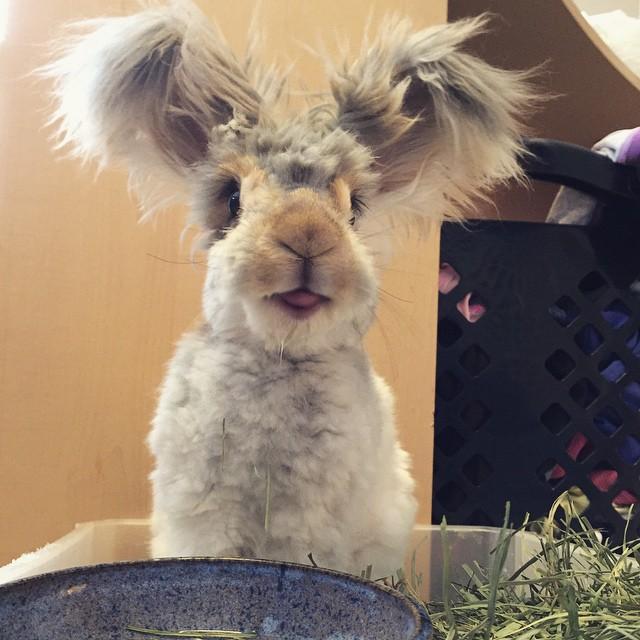 haircut-rabbit-angora-wally-14