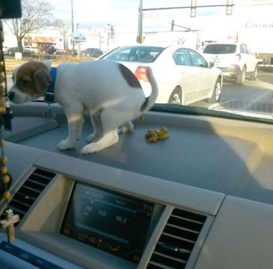 naughty-dog-pooping-on-dashboard__605