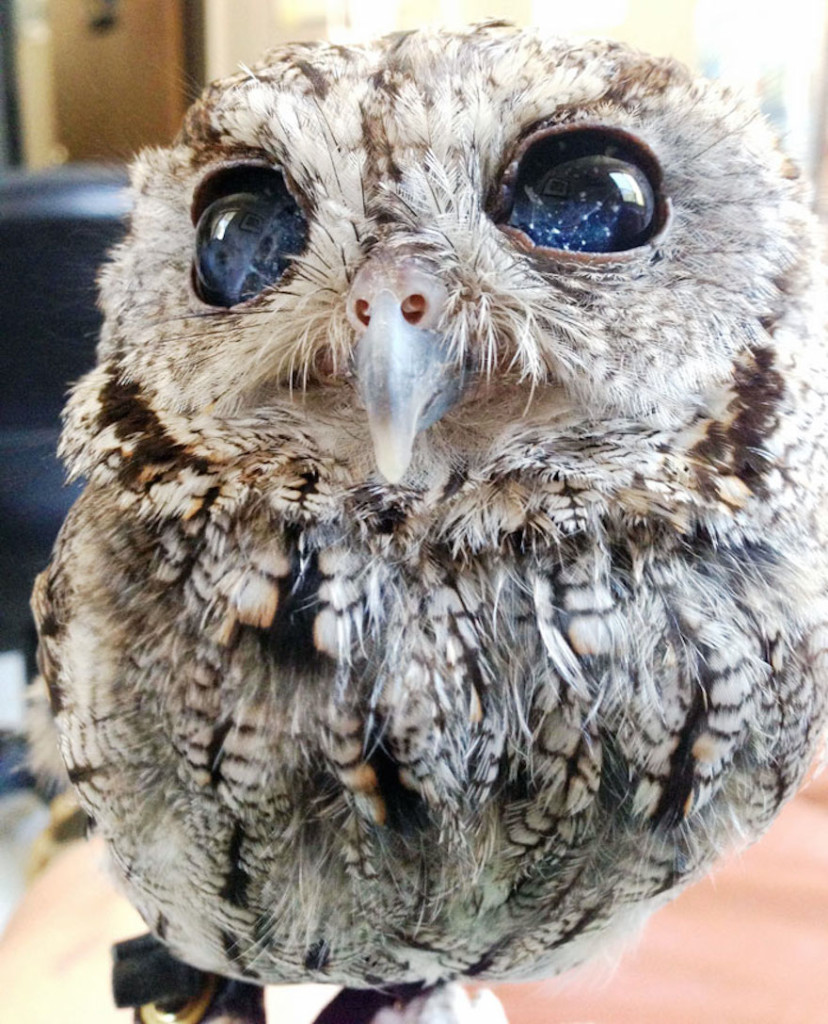 rescued-blind-owl-zeus-6-828x1024