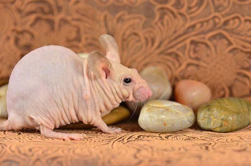these-17-bald-animals-will-blow-your-mind-7