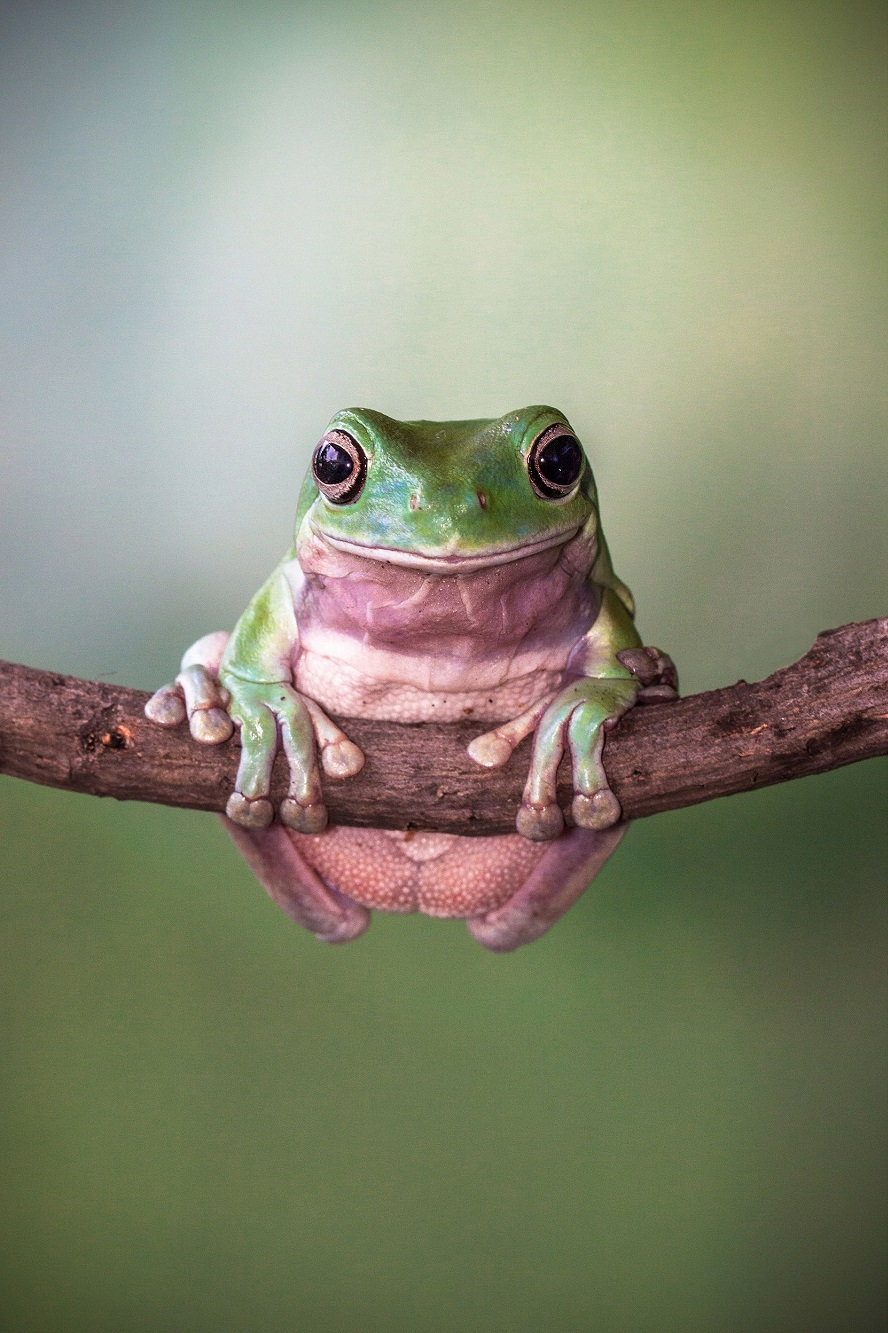 """Mandatory Credit: Photo by Lessy Sebastian/Solent News/REX Shutterstock (3438887a) Frog balanced on the branch Green frogs appear to exercise using a branch, Jakarta, Indonesia - Nov 2013 *Full story: http://www.rexfeatures.com/nanolink/ofd5 These green tree frogs are enjoying an intense gym workout by lifting their own bodyweight performing pull-ups on a branch. The acrobatic frogs even use a vertical branch to hang themselves off sideways, displaying immense strength and bulking up their muscles. In another photo, one frog poses proudly with a cap on after a fitness session - using a petal from a lotus flower. Professional photographer Lessy Sebastian, 50, captured these amazing photographs when he spent the afternoon in his garden. He bought the frogs from a reptile shop almost a year ago and keeps them in his pond in Jakata, Indonesia. Lessy said: """"Usually every weekend I have an opportunity to photograph them and watch them play on a tree branch and jump on a lotus flower to a rest""""."""