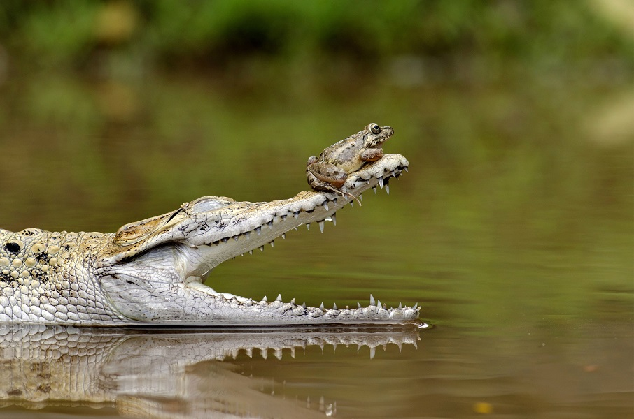 """Mandatory Credit: Photo by Fahmi Bhs/Solent News/REX Shutterstock (3636361a) The frog on the end of the croc's open jaws Frog sits perched on end of crododile's snout, Jakarta, Indonesia - Feb 2014 Perched on the nose of a crocodile, this brave frog probably won't realise just how much of a lucky escape it's had. For there's one reason the reptile's beady eye is fixed greedily on its visitor with jaws gaping wide in anticipation - feeding time. Fahmi Bhs, 39, captured this unexpected moment in a pool in Jakarta, Indonesia. He watched as the crocodile devoured the first frog in his enclosure, but was amazed when it appeared unable to capture the second. The small amphibian settled on the crocodile's head before moving to the tip of its nose as it opened its huge mouth. Eventually the lucky frog hopped away and left the small pool. Fahmi said: """"It looked as though the croc had eaten enough breakfast and just wanted to keep the frog as a 'little pet' instead."""""""