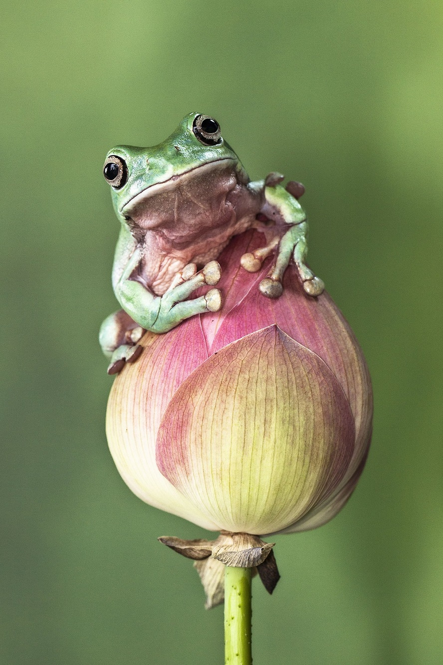 """Mandatory Credit: Photo by Lessy Sebastian/Solent News/REX Shutterstock (3438887f) Frog on a flower Green frogs appear to exercise using a branch, Jakarta, Indonesia - Nov 2013 *Full story: http://www.rexfeatures.com/nanolink/ofd5 These green tree frogs are enjoying an intense gym workout by lifting their own bodyweight performing pull-ups on a branch. The acrobatic frogs even use a vertical branch to hang themselves off sideways, displaying immense strength and bulking up their muscles. In another photo, one frog poses proudly with a cap on after a fitness session - using a petal from a lotus flower. Professional photographer Lessy Sebastian, 50, captured these amazing photographs when he spent the afternoon in his garden. He bought the frogs from a reptile shop almost a year ago and keeps them in his pond in Jakata, Indonesia. Lessy said: """"Usually every weekend I have an opportunity to photograph them and watch them play on a tree branch and jump on a lotus flower to a rest""""."""