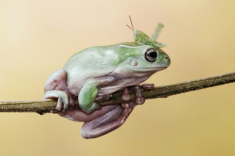 """Mandatory Credit: Photo by Andri Priyadi/Solent News/REX Shutterstock (4271985c) A grasshopper climbs over a frog on a branch Grasshopper climbs over frog's head and body, Tangerang, Indonesia - Oct 2014 *Full story: http://www.rexfeatures.com/nanolink/poxb A cheeky little grasshopper couldn't go round a frog because the branch they were on was too thin - so he surprised him by going over instead. The 7cm-long frog stared out the insect as it got up close and personal to him on the thin branch. But the 1.5cm grasshopper simply jumped onto his back and made his way across to the other side. The moment was captured on camera by 29-year-old Andri Priyadi near his backgarden in Tangerang, Indonesia. Andri likes to spend his spare time photographing his pet frog, which is a tree frog known as a 'dumpy frog'. He said: """"I like taking my frogs to play in the yard so I go there often. """"My favourite picture is the one of them looking at each other because I bet the frog didn't expect the grasshopper to climb over him""""."""