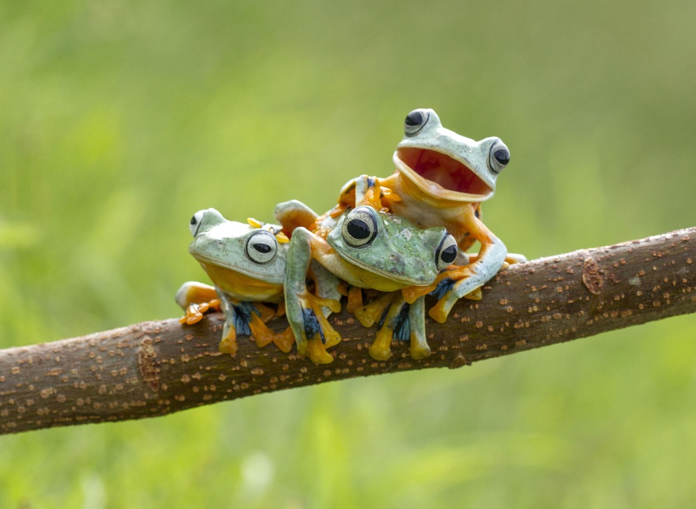 """Mandatory Credit: Photo by Hendy MP/Solent News/REX Shutterstock (4404770a) The Reinwardt's Flying Frogs on the branch Frogs on a tree branch, Sambas, Indonesia - Jan 2015 *Full story: http://www.rexfeatures.com/nanolink/pvwg This green-skinned trio were happy to pose for the camera - with one little frog even smiling happily for its close up. The three Reinwardt's Flying Frog, commonly known as the black webbed tree frog or the green flying frog, were spotted playing in a tree by photographer Hendy Mp. The 25-year-old, who saw the frogs near his home in Sambas, Indonesia, said they reminded him of three brothers playing together. He said: """"They were playing and kept moving around every couple of minutes - climbing on each other and changing positions. """"They reminded me of three playful brothers and the one frog that looks like he is smiling I thought was very cute. """"I stayed there for about two hours taking pictures. """"They moved very quickly and elegantly - it reminded me of a dancer, they had the same sort of style in their movements."""""""
