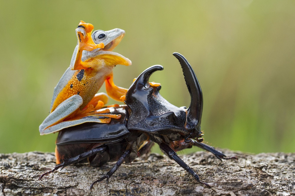 """Mandatory Credit: Photo by Hendy MP/Solent News/REX Shutterstock (4436027a) The frog riding on top of the beetle Frog rides a beetle like a rodeo cowboy on a bull, Sambas, Indonesia - Jan 2015 Like a cowboy riding a bull, this frog appeared to have a wild ride after it hopped aboard a beetle. At one point the daring amphibian appeared to be having the time of its life as it clung on with one hand in the air. And it managed to stay in place for around five minutes before eventually crawling off. Photographer Hendy Mp captured the unique moment near his house in Sambas, Indonesia. The 25-year-old said: """"It was such an amazing moment, the frog just saw the beetle and decided to crawl on top. """"It looked like the frog was a cowboy riding a bull and it even put its right leg in the air. """"The frog was on the beetle for five minutes and the insect was just happily running around."""""""