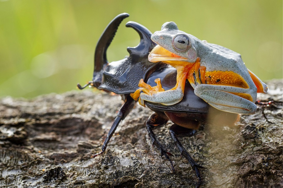 """Mandatory Credit: Photo by Hendy MP/Solent News/REX Shutterstock (4436027b) The frog riding on top of the beetle Frog rides a beetle like a rodeo cowboy on a bull, Sambas, Indonesia - Jan 2015 Like a cowboy riding a bull, this frog appeared to have a wild ride after it hopped aboard a beetle. At one point the daring amphibian appeared to be having the time of its life as it clung on with one hand in the air. And it managed to stay in place for around five minutes before eventually crawling off. Photographer Hendy Mp captured the unique moment near his house in Sambas, Indonesia. The 25-year-old said: """"It was such an amazing moment, the frog just saw the beetle and decided to crawl on top. """"It looked like the frog was a cowboy riding a bull and it even put its right leg in the air. """"The frog was on the beetle for five minutes and the insect was just happily running around."""""""
