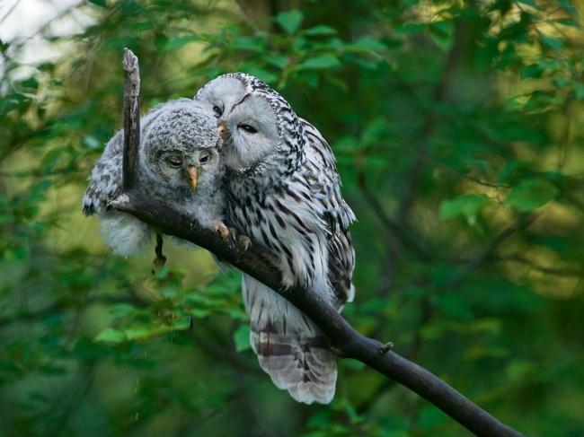 212505-R3L8T8D-650-ural-owl