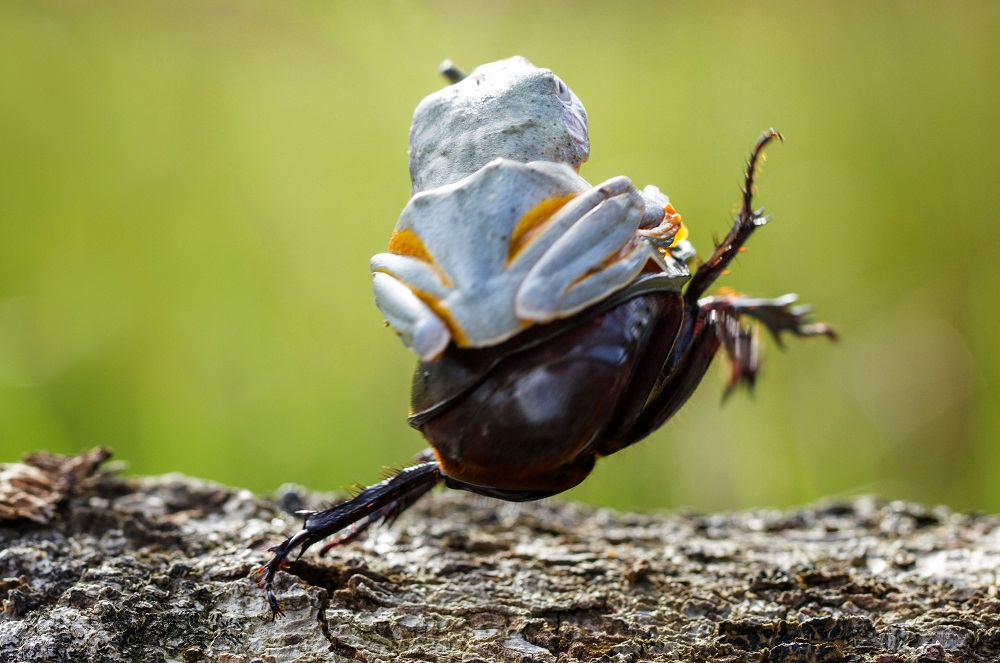 """Mandatory Credit: Photo by Hendy MP/Solent News/REX Shutterstock (4436027f) The frog riding on top of the beetle Frog rides a beetle like a rodeo cowboy on a bull, Sambas, Indonesia - Jan 2015 Like a cowboy riding a bull, this frog appeared to have a wild ride after it hopped aboard a beetle. At one point the daring amphibian appeared to be having the time of its life as it clung on with one hand in the air. And it managed to stay in place for around five minutes before eventually crawling off. Photographer Hendy Mp captured the unique moment near his house in Sambas, Indonesia. The 25-year-old said: """"It was such an amazing moment, the frog just saw the beetle and decided to crawl on top. """"It looked like the frog was a cowboy riding a bull and it even put its right leg in the air. """"The frog was on the beetle for five minutes and the insect was just happily running around."""""""