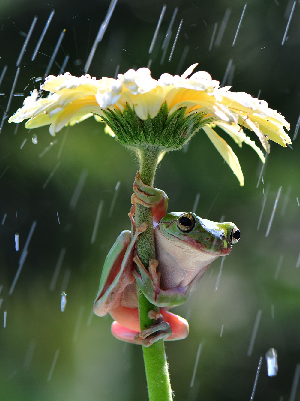 """Mandatory Credit: Photo by Ajar Setiadi/Solent News/REX Shutterstock (4794095a) Frog sheltering from the rain under a flower Frogs shelter under flowers from the rain, Jakarta, Indonesia - May 2015 *Full story: http://www.rexfeatures.com/nanolink/qfrm A pair of quick-thinking frogs try to keep dry while it showers by holding a flower over their head like an umbrella. The amphibians are so determined to keep dry they manage to climb up the gerbera stalks so their bodies are underneath the petals. Photographer Ajar Setiadi captured the moment two dumpy tree frogs climbed the flowers in his back garden in Jakarta, Indonesia. The 47-year-old said: """"I was playing with my frogs at the time and then it started showering quite a bit. """"The frogs managed to jump from one flower to another and hold it above their heads so that they did not get wet""""."""