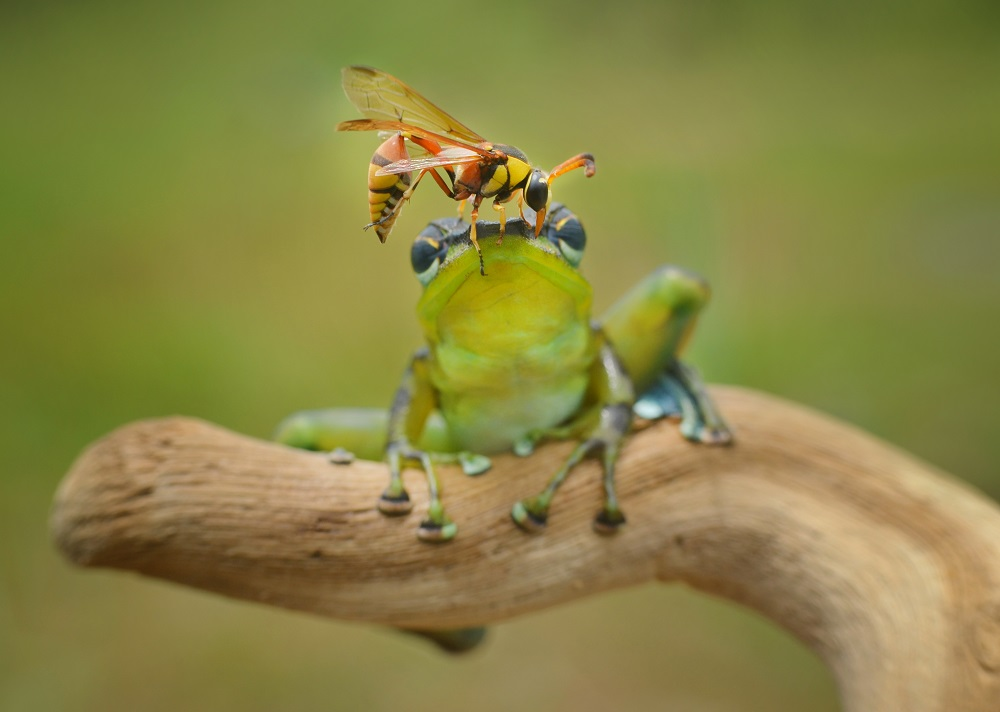 """Mandatory Credit: Photo by Frenki Jung/Solent News/REX Shutterstock (4796629c) The wasp perched on the head of the frog Wasp lands on frog's head, Sambas, Indonesia - May 2015 *Full story: http://www.rexfeatures.com/nanolink/qfue This little frog stands stock still to avoid a sting as a wasp lands on its head. The green frog was minding his own business sitting on a branch when the wasp flew over and perched on him. But instead of telling him to buzz off like any of us would do, the frog stayed calm and let him wander around on top of him. This unusual friendship was captured by photographer Frenki Jung, 17, who was taking pictures of the frog when the wasp flew over. Frenki, a student from Sambas in Indonesia, said he was amazed to see how the frog reacted when the insect landed on him. He said: """"These pictures were taken in a garden just behind my house, I was taking pictures of my pet frog when the wasp flew over. """"It landed right on top of him, it was like he was asking him for a lift""""."""