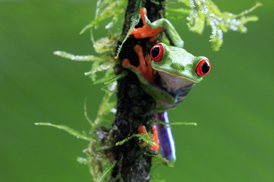 Mandatory Credit: Photo by Megan Lorenz/REX Shutterstock (1728849b) Wild Red-Eyed Tree Frog in Costa Rica Tree frog, Sarapiqui, Costa Rica - May 2012