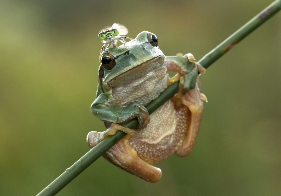 Dragonfly sits on frog's head, Marim, Spain - 04 Sep 2011
