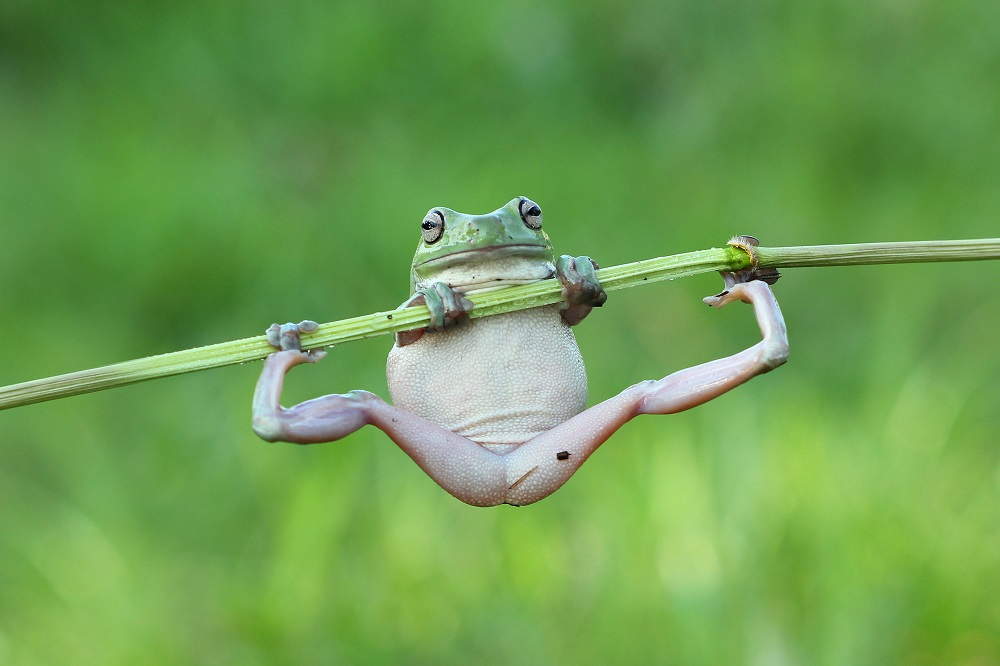 """Mandatory Credit: Photo by Kurit Afsheen/Solent News/REX Shutterstock (4889839a) One of the frogs doing a pull up on the stem Frogs appear to be exercising on a plant stem, Tangerang, Indonesia - Jun 2015 *Full story: http://www.rexfeatures.com/nanolink/ql2d It's no pain no gain for these fitness frogs as they attempt to do a pull up on a bamboo branch. The two White's Tree Frogs were spotted attempting to heave themselves back onto the stem after they slipped off. The male and female frogs were racing each other up the branch like climbers hoisting themselves up a rope, with the larger, older female frog winning the contest. But as the frogs reached the top of the branch it began to bend under their weight until it was horizontal, leaving them both hanging on by their finger tips. Kurit Afsheen photographed the amphibians as they clung onto the branch in Tangerang, Indonesia. Mr Afsheen said: """"I saw them climbing up the branch and it looked like they were trying to race each other."""