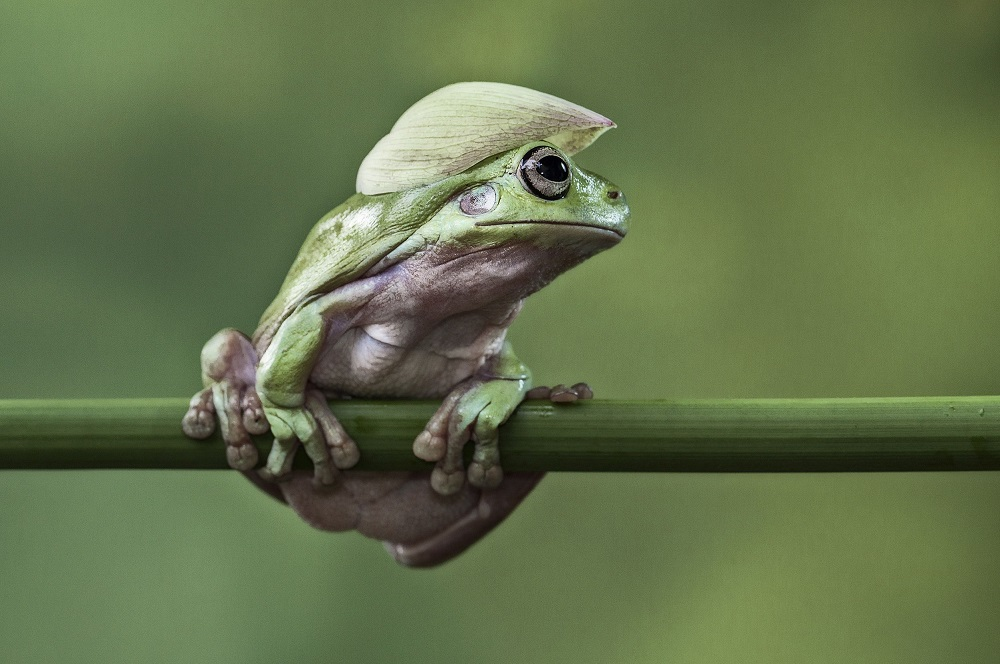"""Mandatory Credit: Photo by Lessy Sebastian/Solent News/REX Shutterstock (3438887d) Frog balanced on a plant stem with a flower petal on its head Green frogs appear to exercise using a branch, Jakarta, Indonesia - Nov 2013 *Full story: http://www.rexfeatures.com/nanolink/ofd5 These green tree frogs are enjoying an intense gym workout by lifting their own bodyweight performing pull-ups on a branch. The acrobatic frogs even use a vertical branch to hang themselves off sideways, displaying immense strength and bulking up their muscles. In another photo, one frog poses proudly with a cap on after a fitness session - using a petal from a lotus flower. Professional photographer Lessy Sebastian, 50, captured these amazing photographs when he spent the afternoon in his garden. He bought the frogs from a reptile shop almost a year ago and keeps them in his pond in Jakata, Indonesia. Lessy said: """"Usually every weekend I have an opportunity to photograph them and watch them play on a tree branch and jump on a lotus flower to a rest""""."""