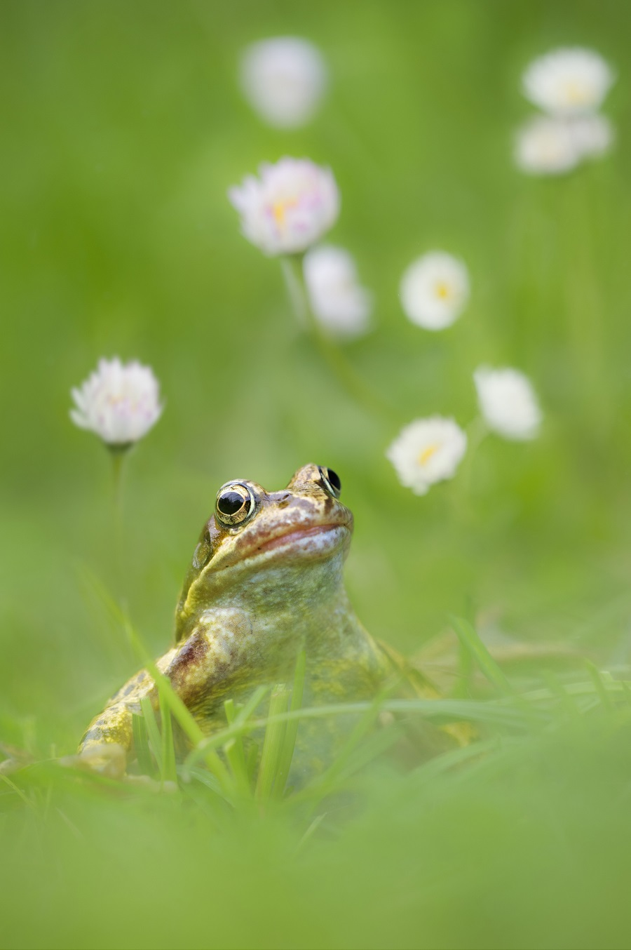 Mandatory Credit: Photo by FLPA/REX Shutterstock (3275278a) Common Frog (Rana temporaria) adult, sitting on grass with daisy flowers, Loughborough, Leicestershire, England Nature