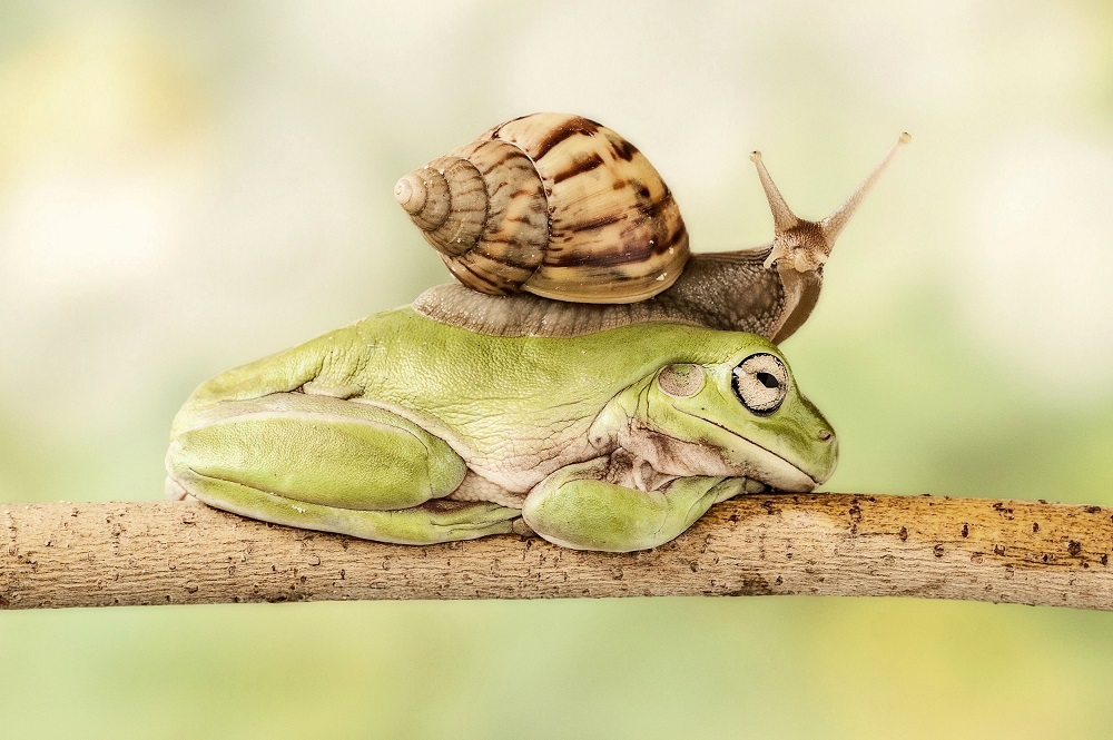 Mandatory Credit: Photo by Lessy Sebastian/Solent News/REX Shutterstock (2647080c) The snail slides over the sleeping frog's back Snail slides across the back of a sleeping frog, Jakarta, Indonesia - 22 Jun 2013 *Full story: http://www.rexfeatures.com/nanolink/lu25 This snail enjoys a long game of leapfrog as it takes eight minutes to calmly climb over a croaker before reaching its destination. The frog was enjoying an afternoon nap, minding its own business high up in a branch, when the snail decided to interrupt its snooze. Approaching the snoozing amphibian the quick-thinking snail clearly decided that the only way to reach its destination was to slide over the frog, which took it eight long minutes. Photographer Lessy Sebastian, from Jakarta, Indonesia, captured the rare moment in his front garden. A number of green tree frogs live in the pond underneath the branch in question and often jump up to enjoy the shade while they sleep.