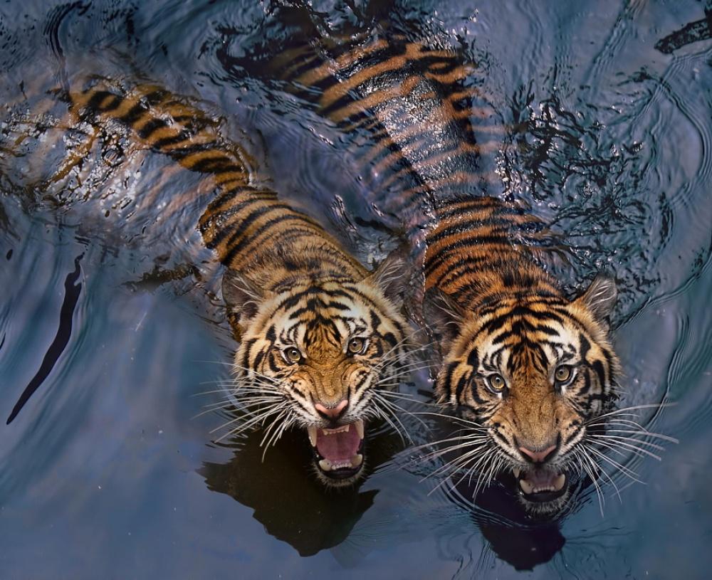 Tigers10