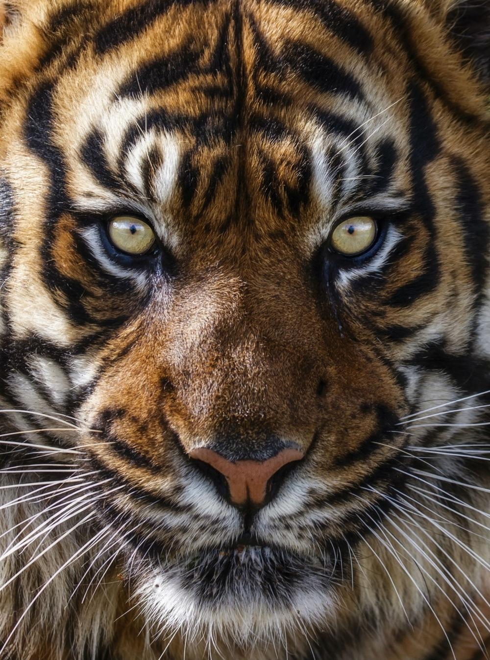 Tigers16