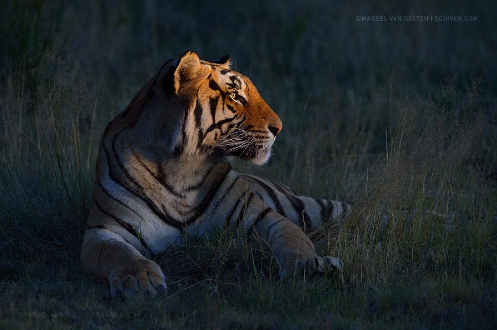 Tigers19