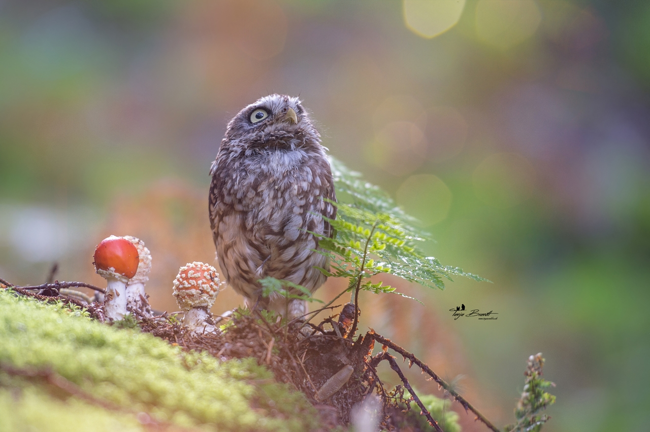 Cute-Tiny-Owl-02