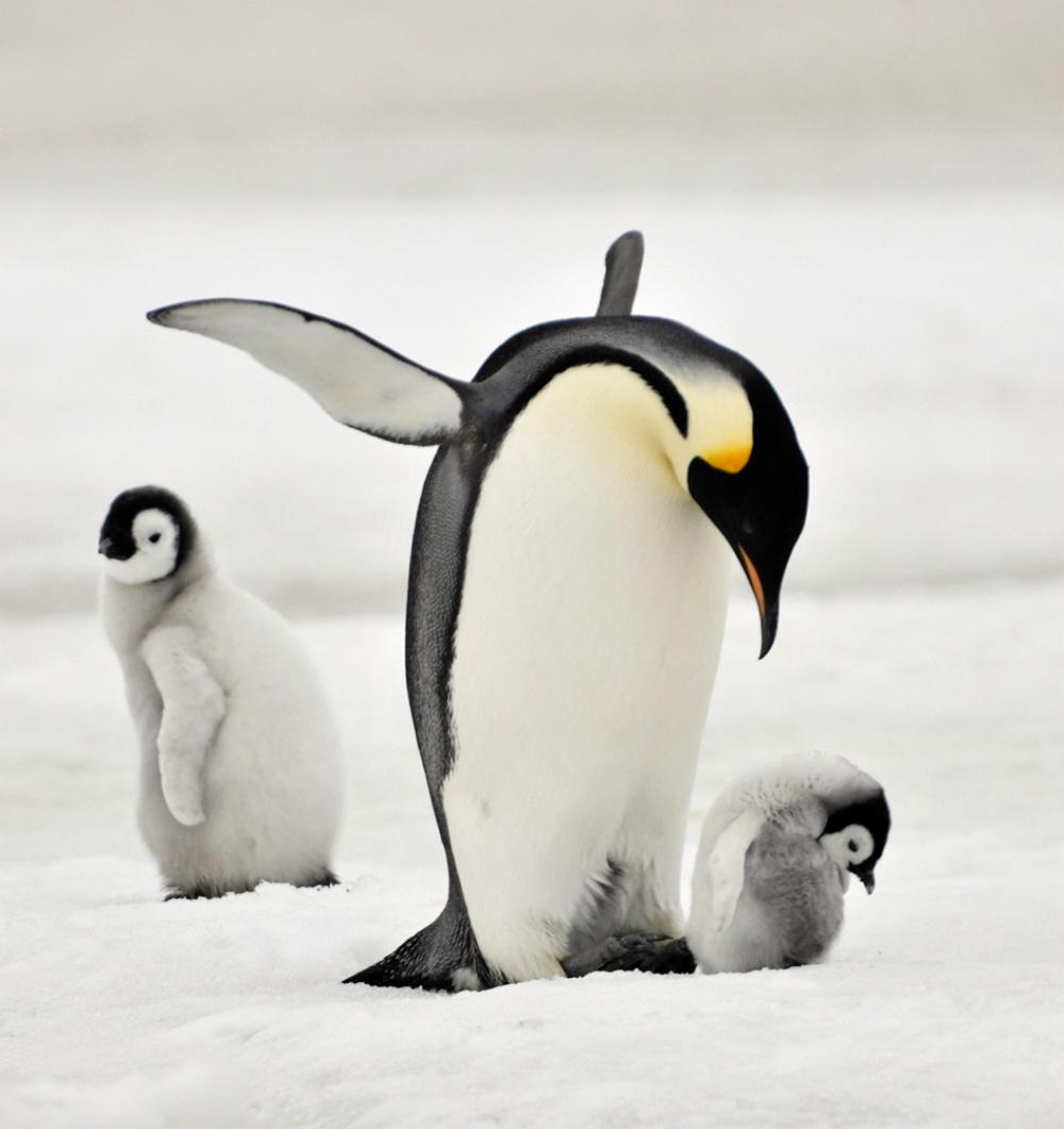 11585510-R3L8T8D-1000-emperor_penguin_by_laogephoto-d60d5pb
