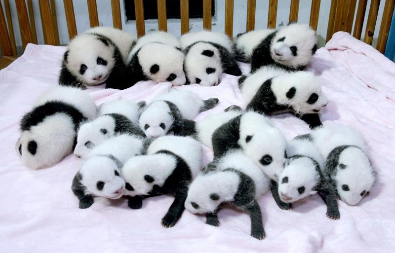 5081360-800-1449746975-4B9132043-tdy-130923-panda-baby-03