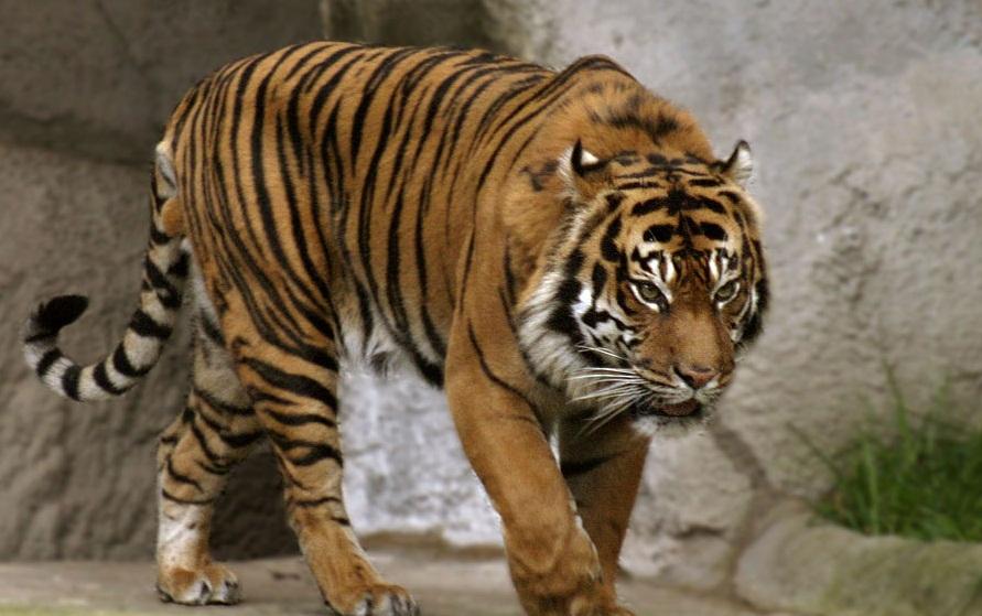 Bali Tiger2