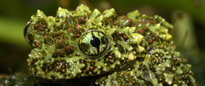 Weird-Nature-Photos-The-Strangest-Frogs-On-The-Planet-6