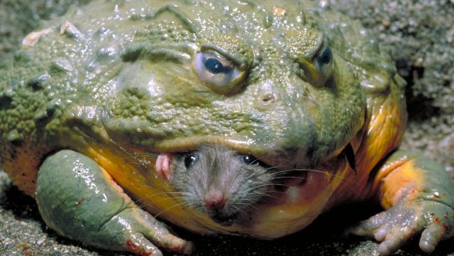 Weird-Nature-Photos-The-Strangest-Frogs-On-The-Planet-image-1