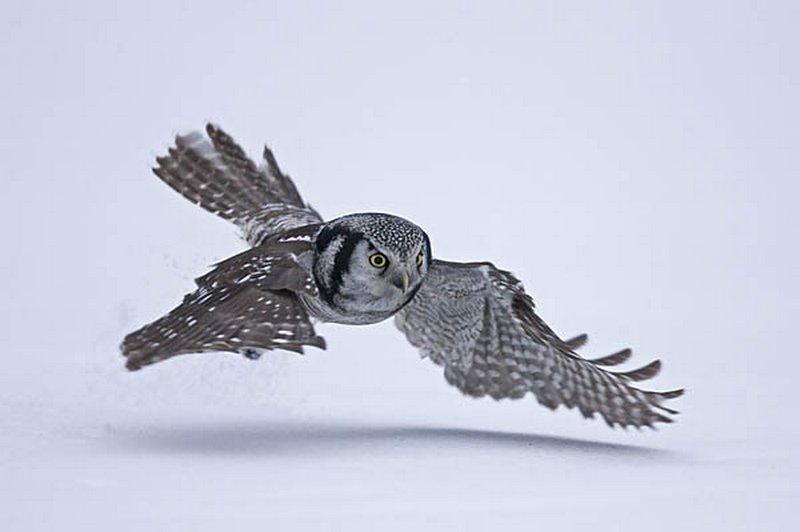 Hawk Owl (Surnia ulula) hunting over a snowy field, March, Finland