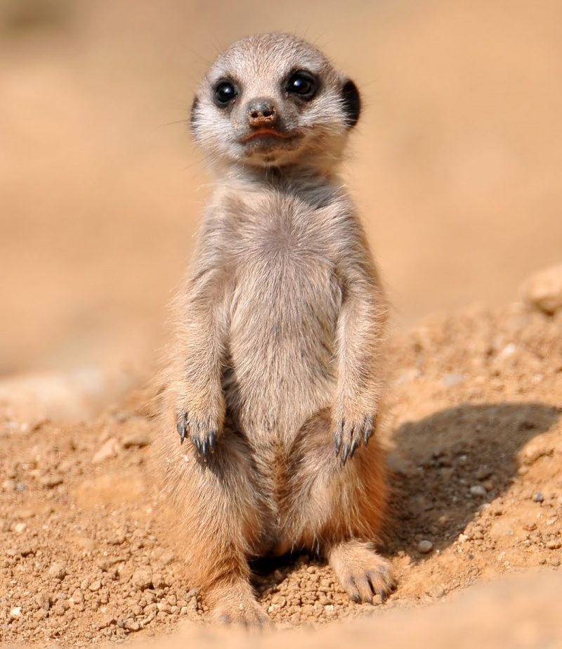 743905-800-1455278466-baby-meerkat-zoo-of-basel