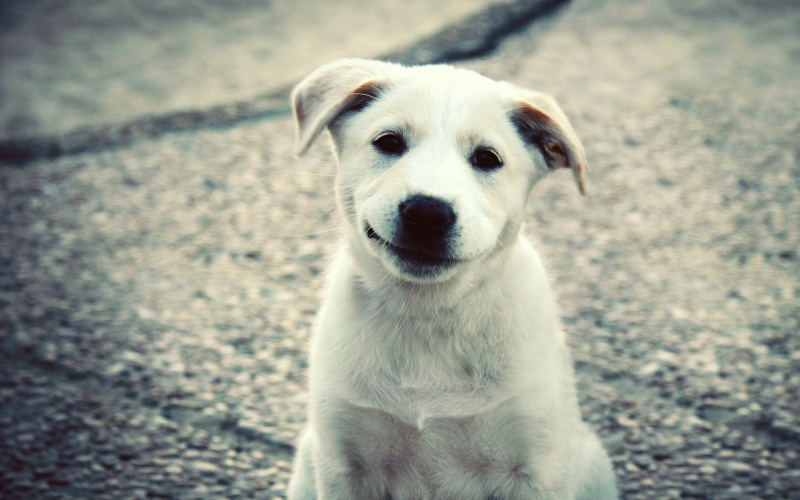 744755-800-1455278466-puppy-white-labrador-smile-cute-3840x2400