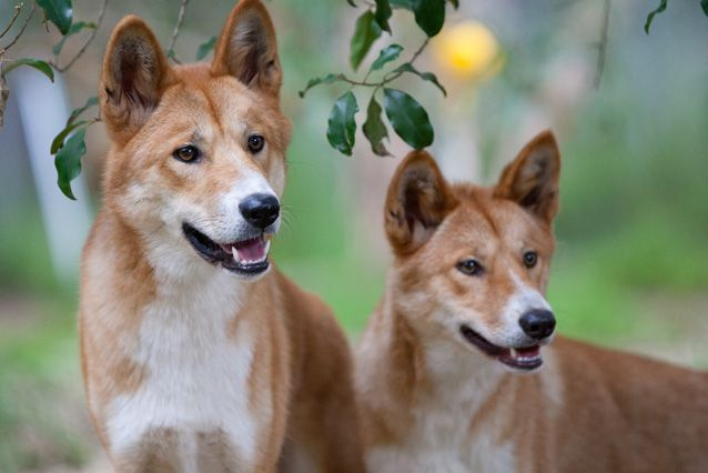 DingoesStareOffIntoDistance.jpg.638x0_q80_crop-smart