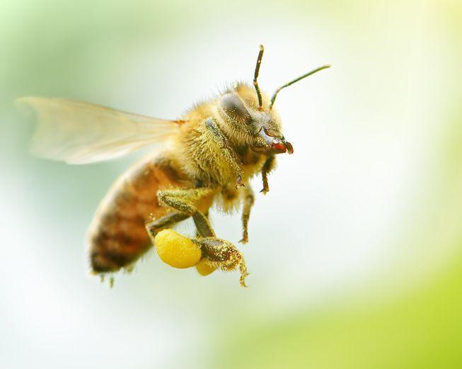HoneyBeeFlyingInFocus.jpg.838x0_q80