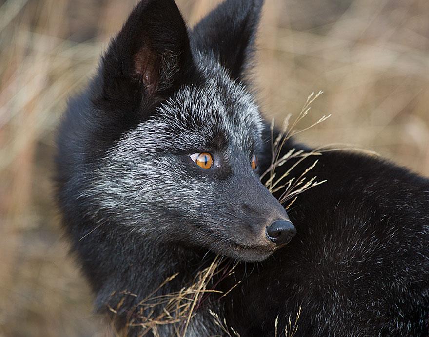 black-silver-fox-221__880