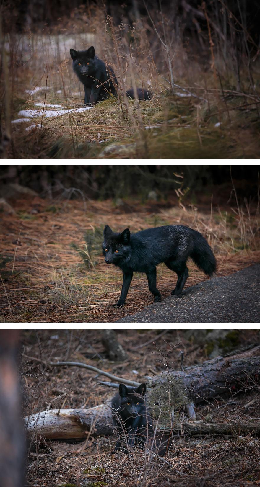 black-silver-fox-39__880