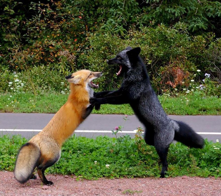 black-silver-fox-40__880