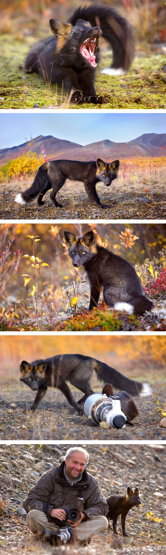 black-silver-fox-41__880