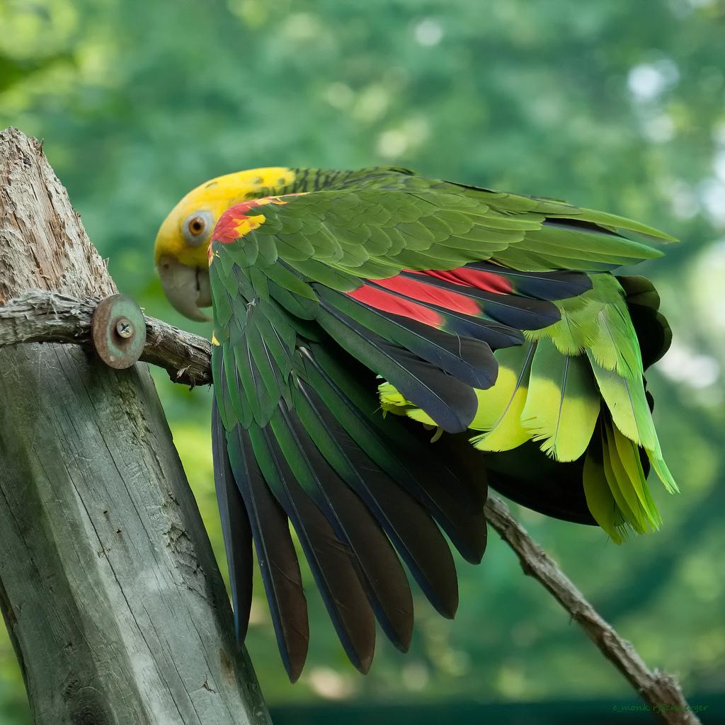 10-species-of-the-largest-parrots-01