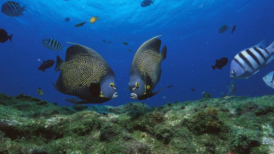 French Angelfish (Pomacanthus paru) pair, Rocas Atoll, Brazil
