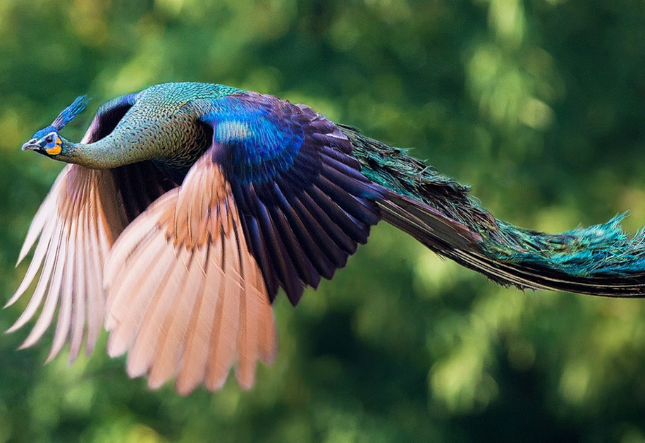 As-flying-peacocks-01