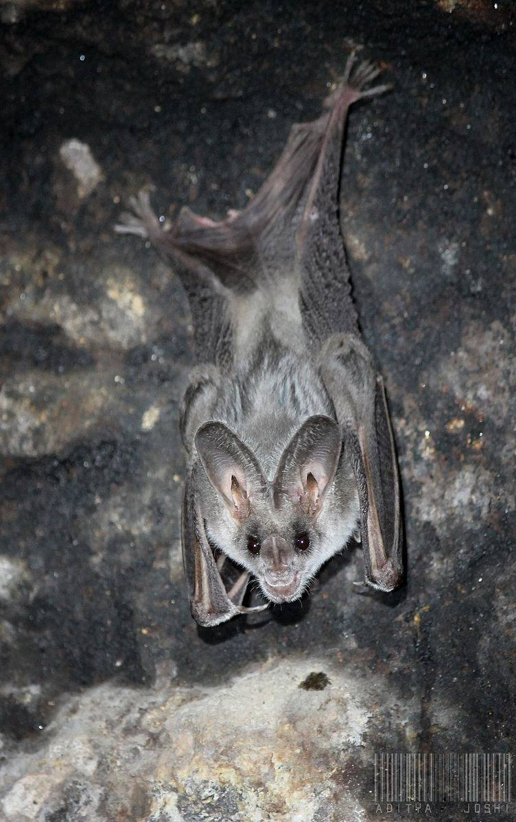 Greater_False_Vampire_Bat_(Megaderma_lyra)