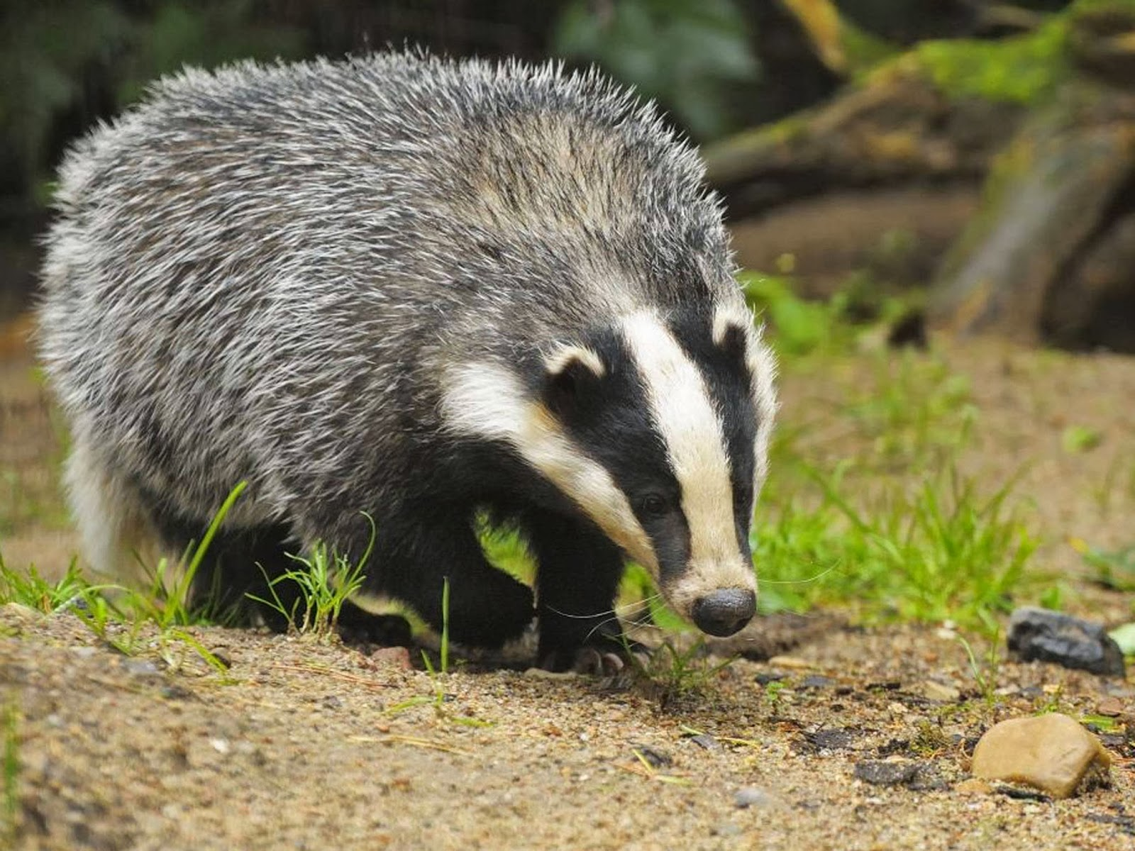 badger14