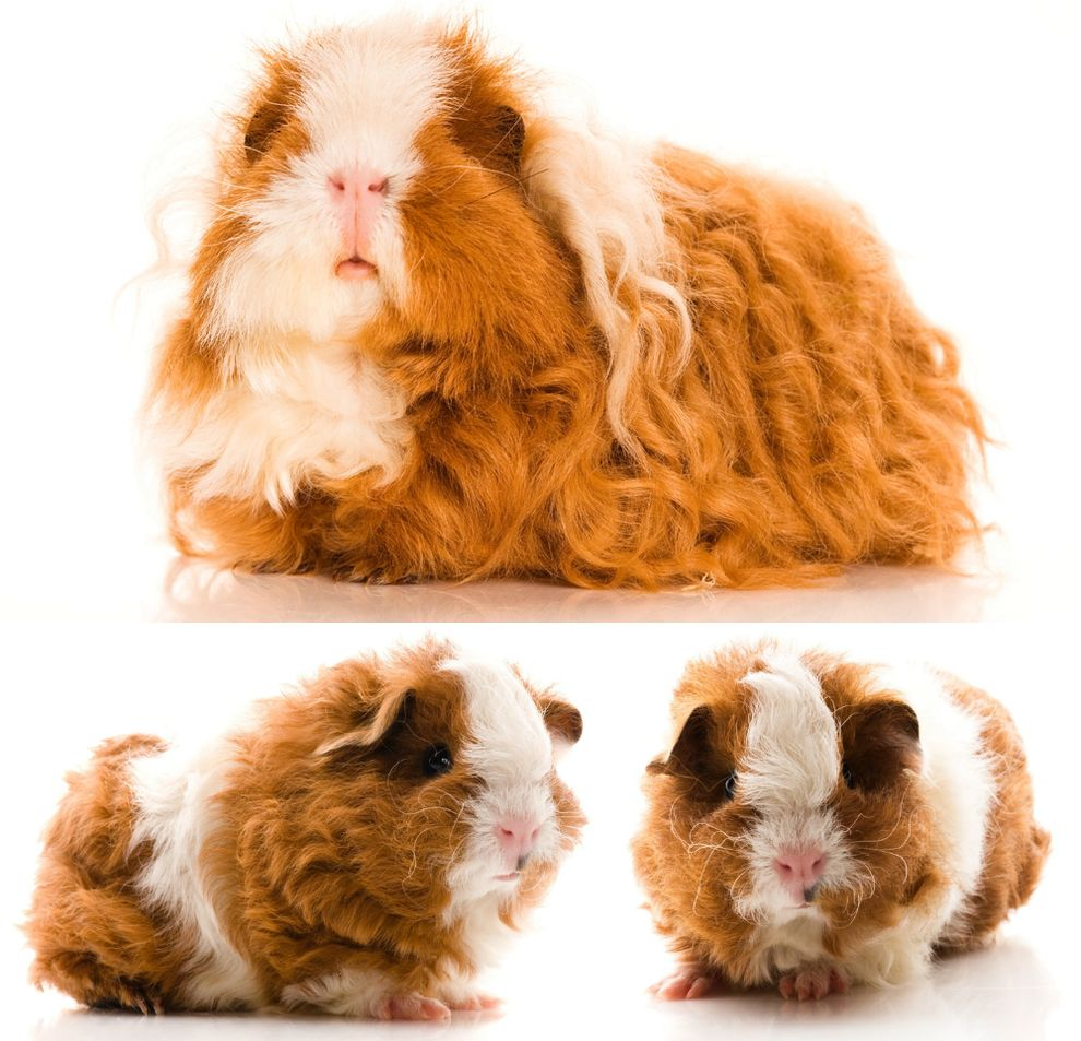 curlyanimals-texelguineapig.jpg.990x0_q80_crop-smart