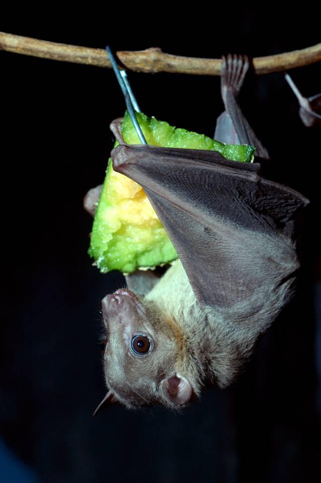 egyptian-fruit-bat