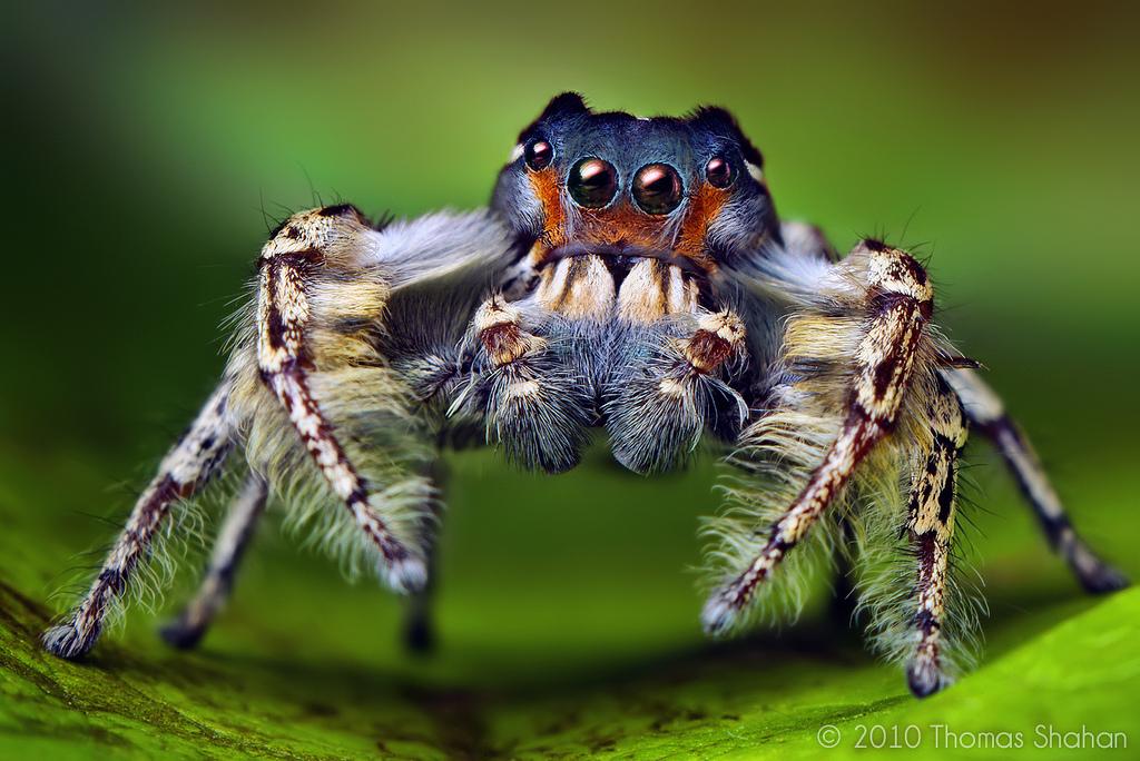 Взрослый паук — попрыгунчик