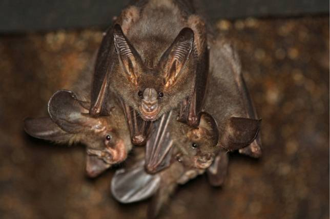 lesser-false-vampire-bats